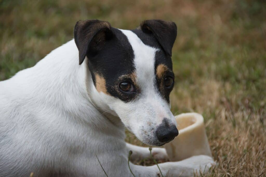 Jack Russell eating his treat