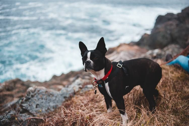 Boston Terrier wearing his harness while on a beach trip