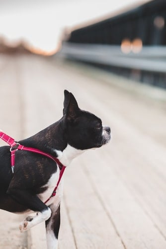 Close up of a Boston Terrier wearing a harness