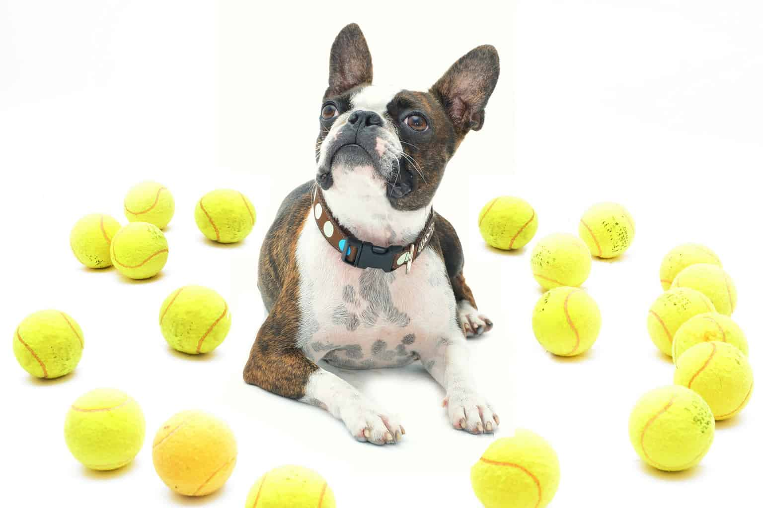 Boston Terrier surrounded by fetch toys