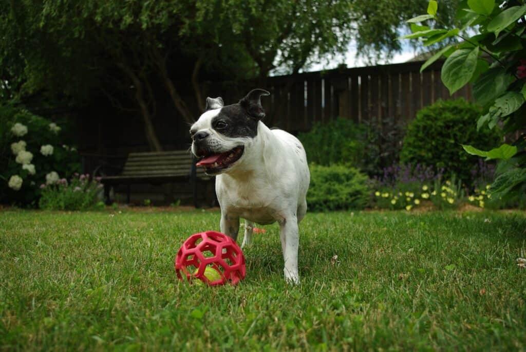 Boston Terrier enjoying his toy outdoors