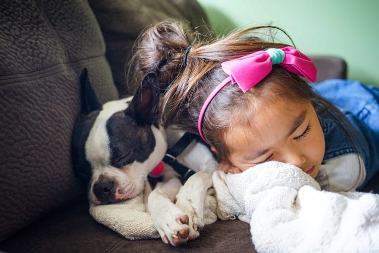 Boston Terrier sleeping on the couch with a little girl