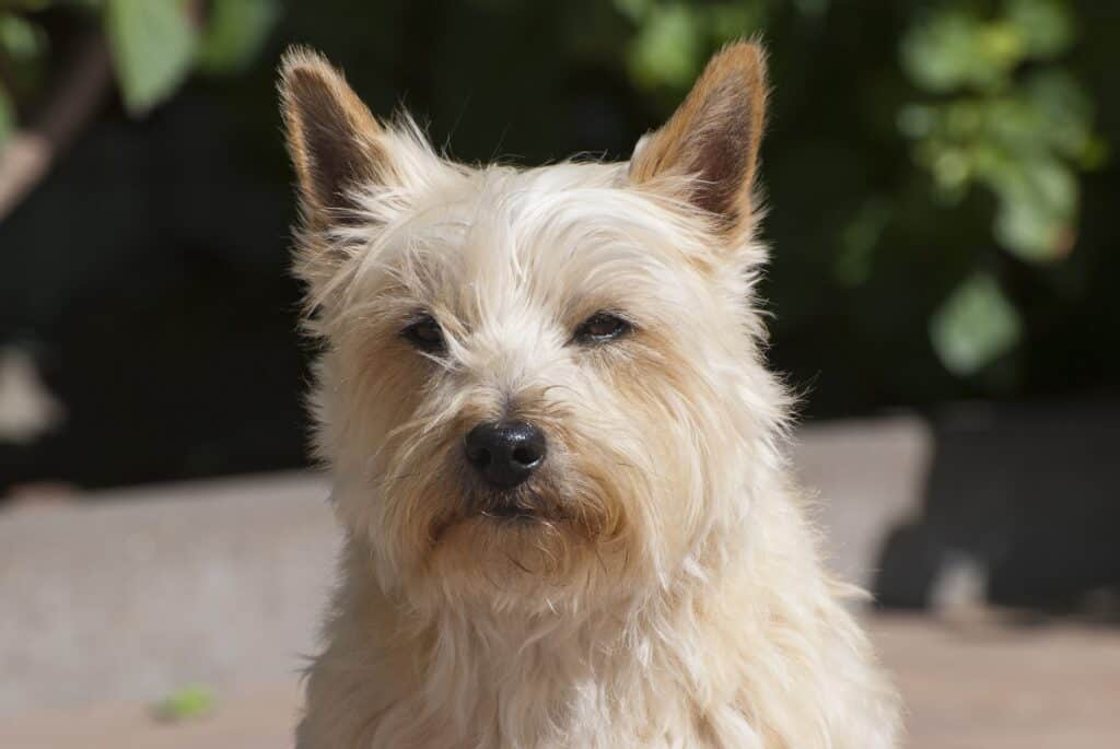White Cairn Terrier