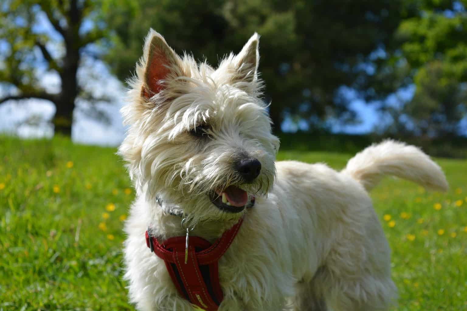 Cairn Terrier in need of grooming