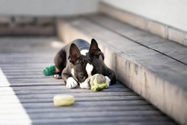 Boston Terrier lying on the front porch with his ball in front of him