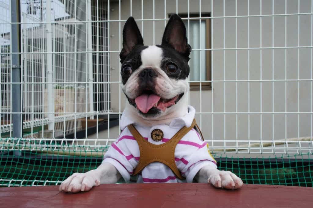 Boston Terrier puppy standing up beside a table