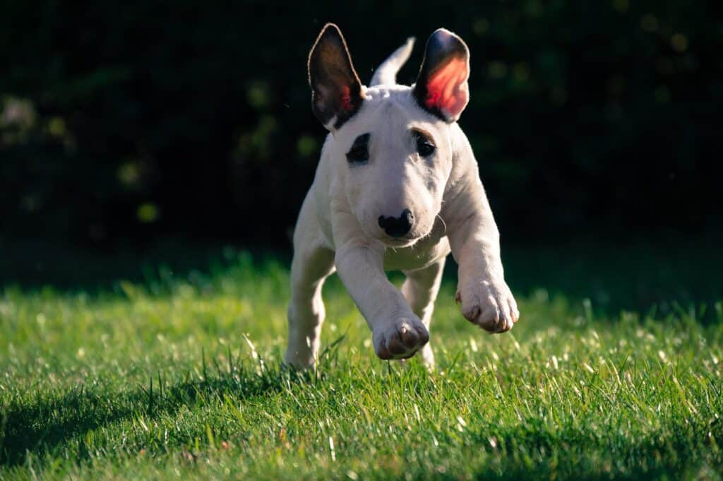 Bull terrier puppy walking in a lawn