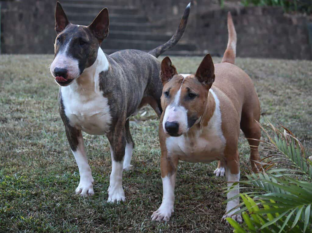 Two kinds of bull terriers