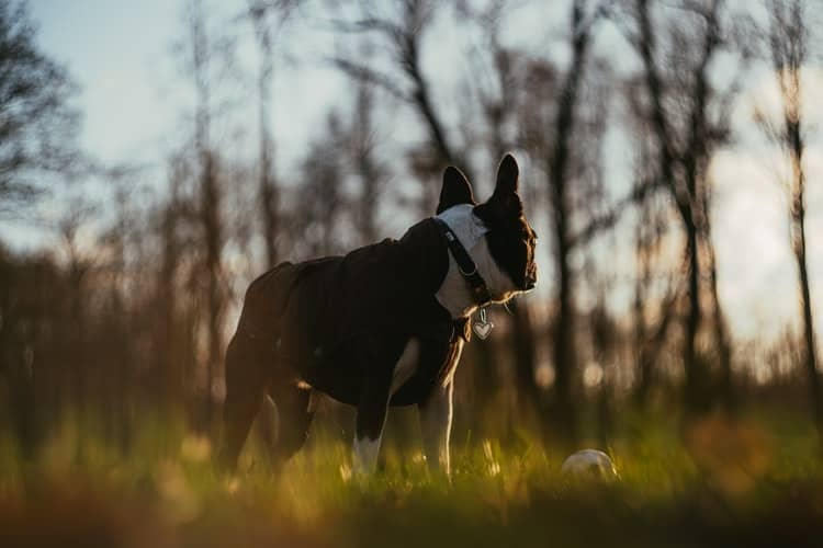 Boston Terrier standing in the grassfield with his naturally short tails