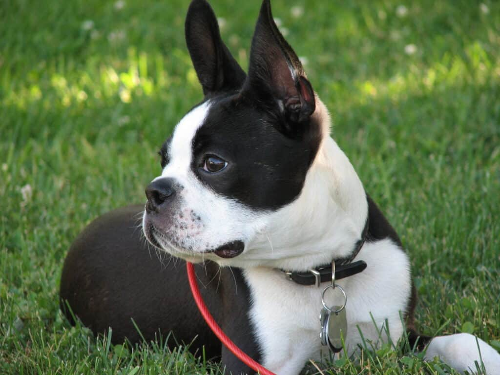 Boston Terrier with a healthy weight