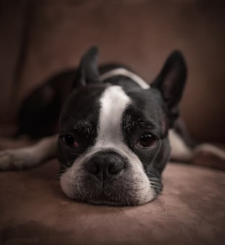 Boston Terrier with ears standing up