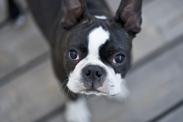 Boston Terrier with erect ears looking straight at the camera