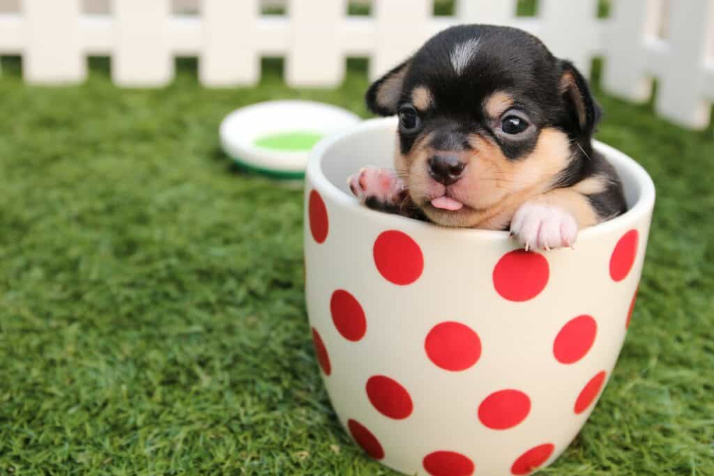 Chihuahua puppy in a pot planter