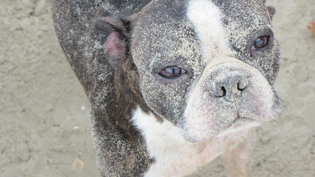 Boston Terrier covered in sand