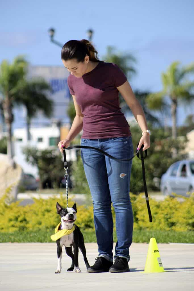 Woman training a Boston Terrier to be a good dog
