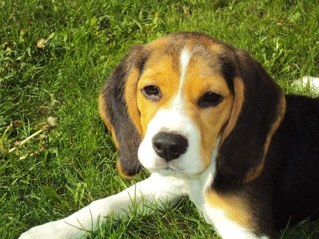 Beagle sitting in a grass