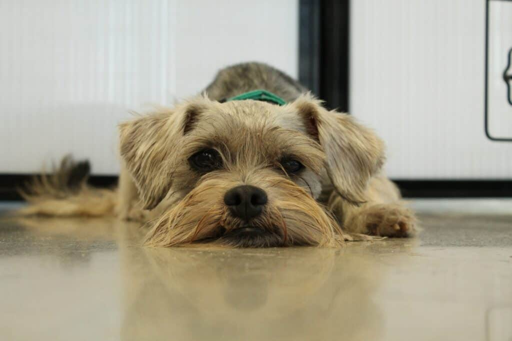 Miniature Schnauzer lying on the floor
