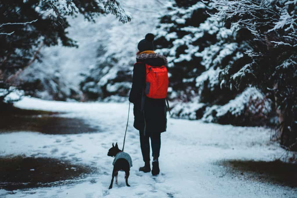 Boston Terrier walking in the snow with his pawrent