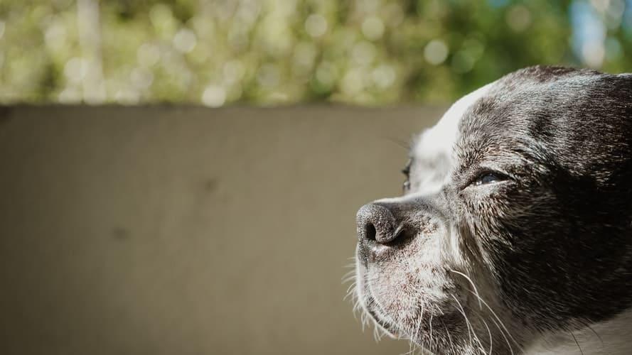 Boston Terrier with Cushing's disease