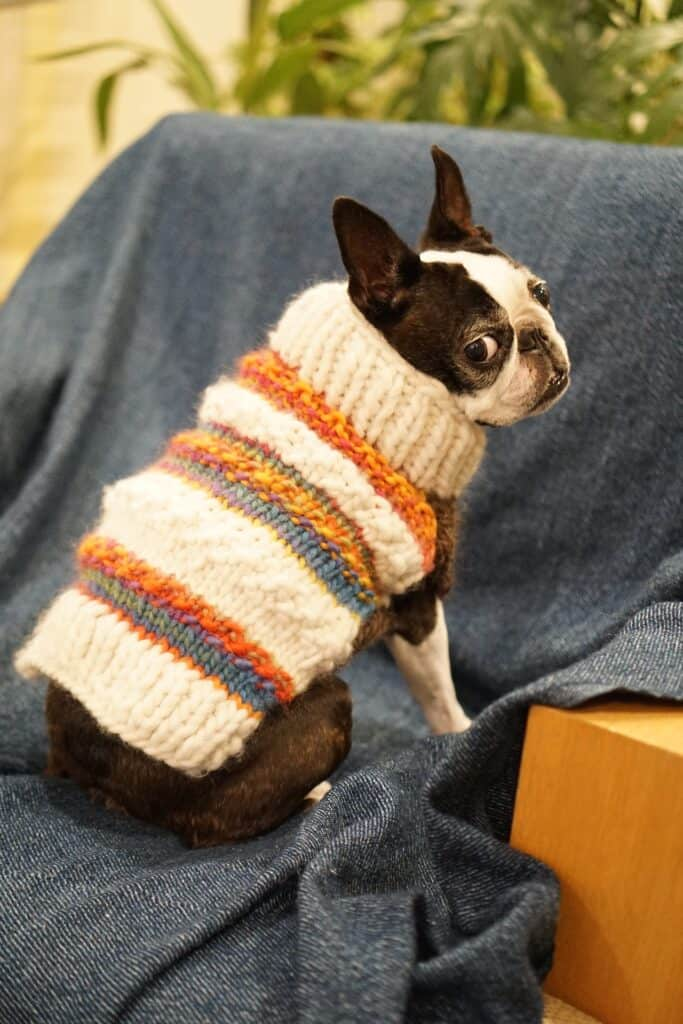 Boston Terrier with a sweater on