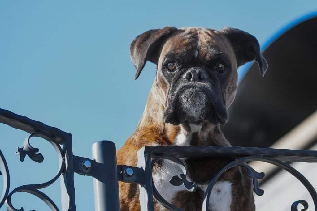 Boxer dog, a Boston Terrier look alike