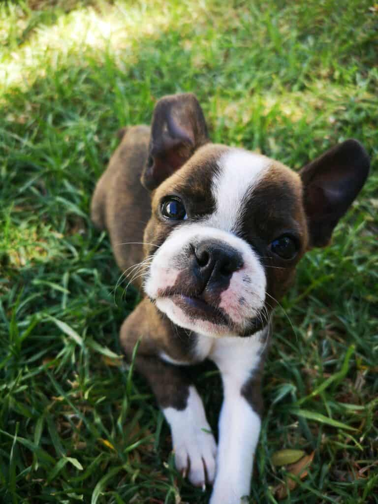 Boston Terrier sitting on the grass