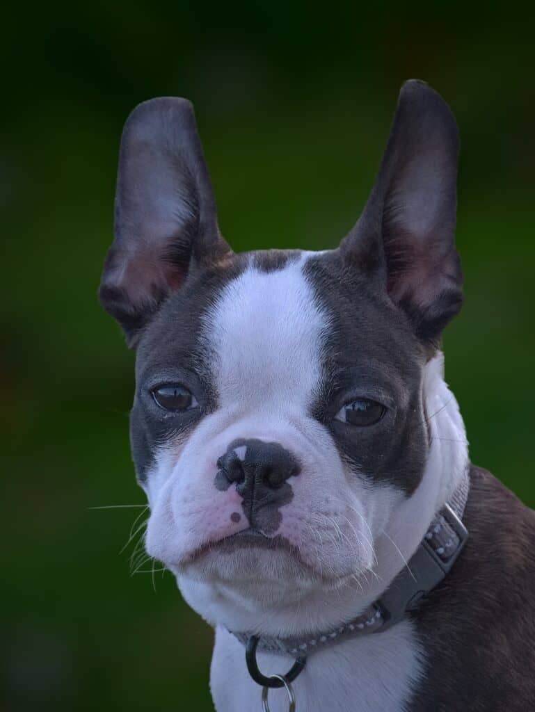 Close up of a Boston Terrier