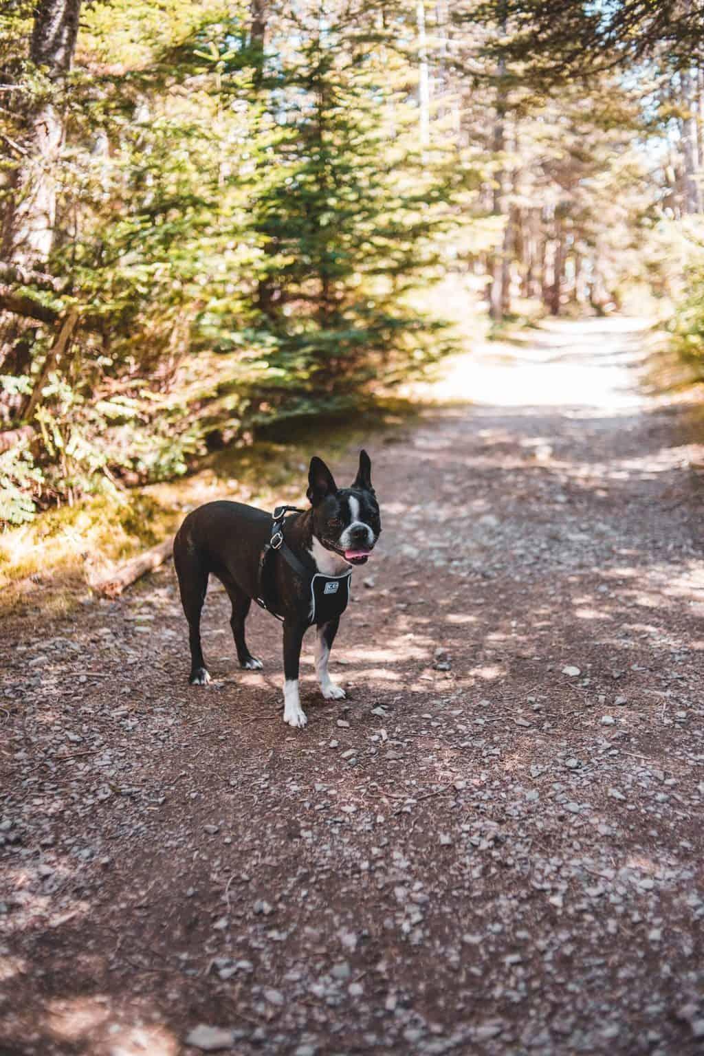 Boston terrier dog wearing a harness