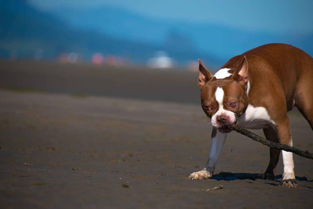 A Boston terrier dog biting a stick