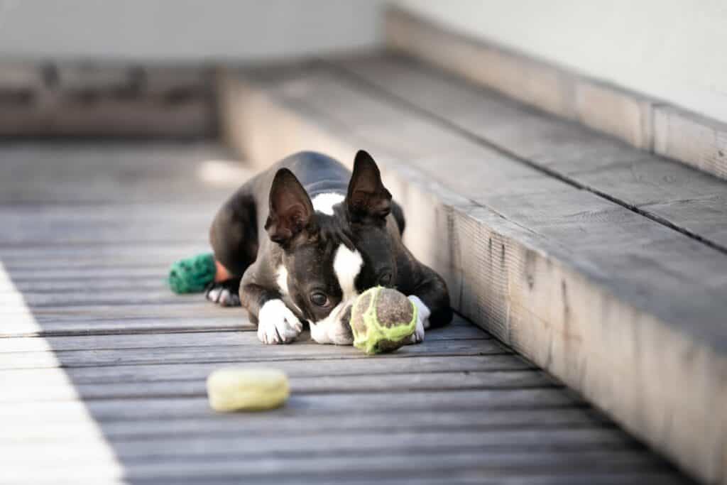 Boston terrier lying on a wooden floor with a ball in front of its face