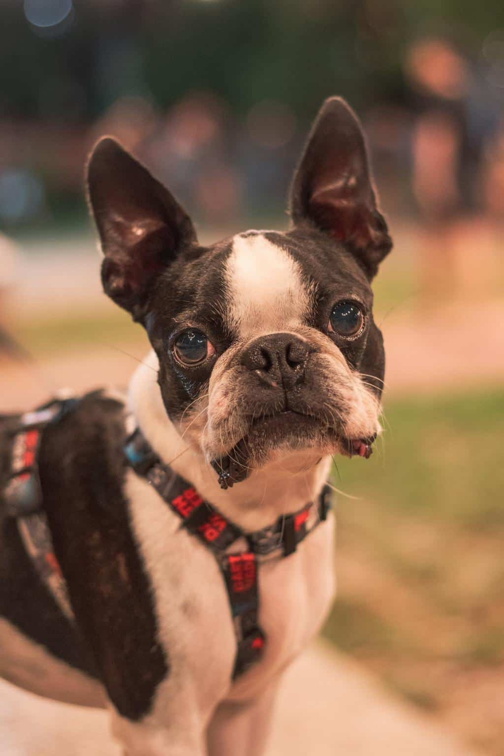 Boston terrier wearing a harness outdoors