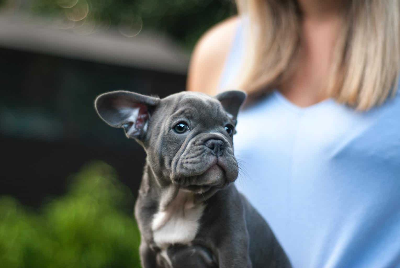 Woman with gray Boston Terrier puppy