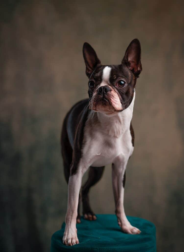 Adult Boston Terrier standing on a stool