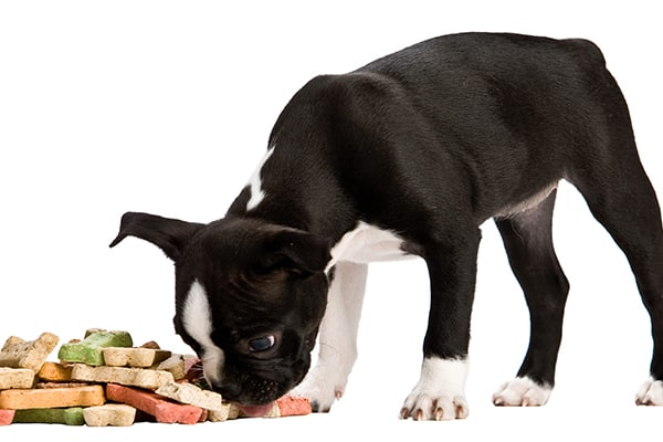 Boston Terrier puppy smelling his food
