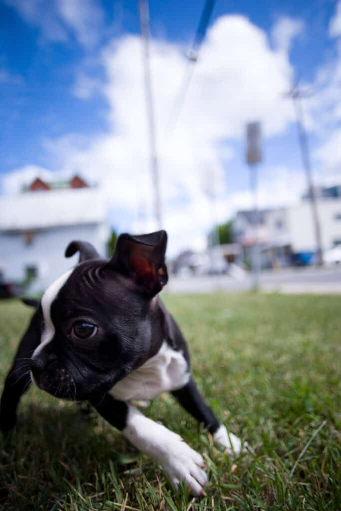 Boston Terrier puppy playing in the grass