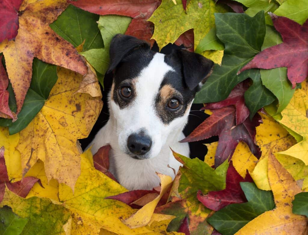 Jack Russell surrounded by leaves
