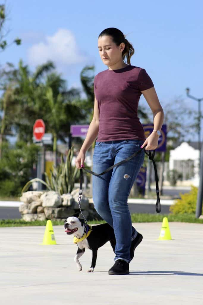 Boston Terrier with a trainer