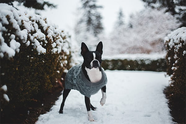 Boston Terrier wearing a sweater while walking in the snow
