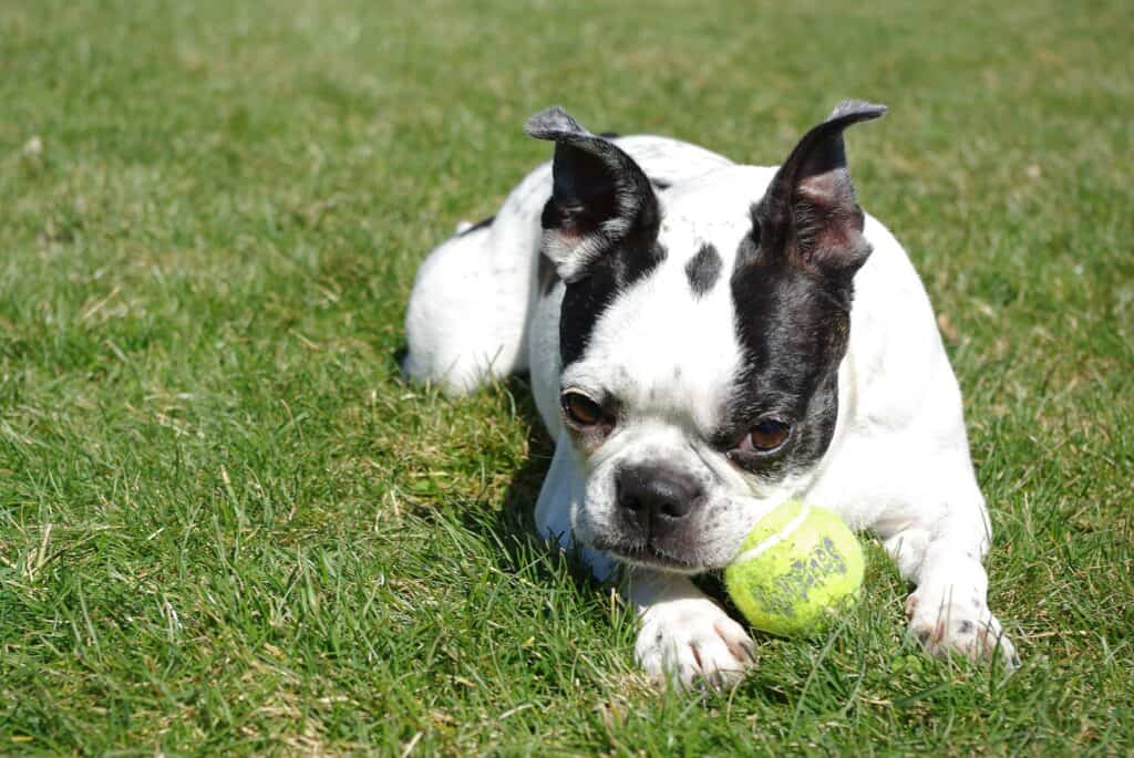 Boston Terrier playing with his ball outdoors