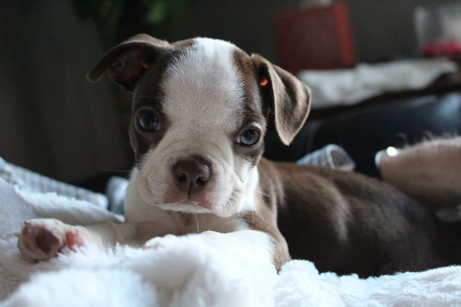 Boston Terrier puppy sitting on the bed