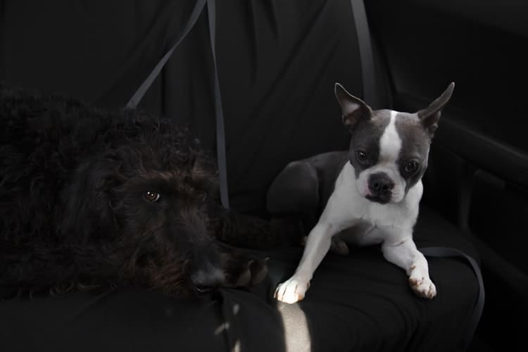 Two dogs awaiting to be examined to be bred