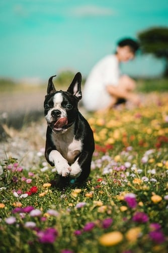 Excited Boston Terrier playing on a field