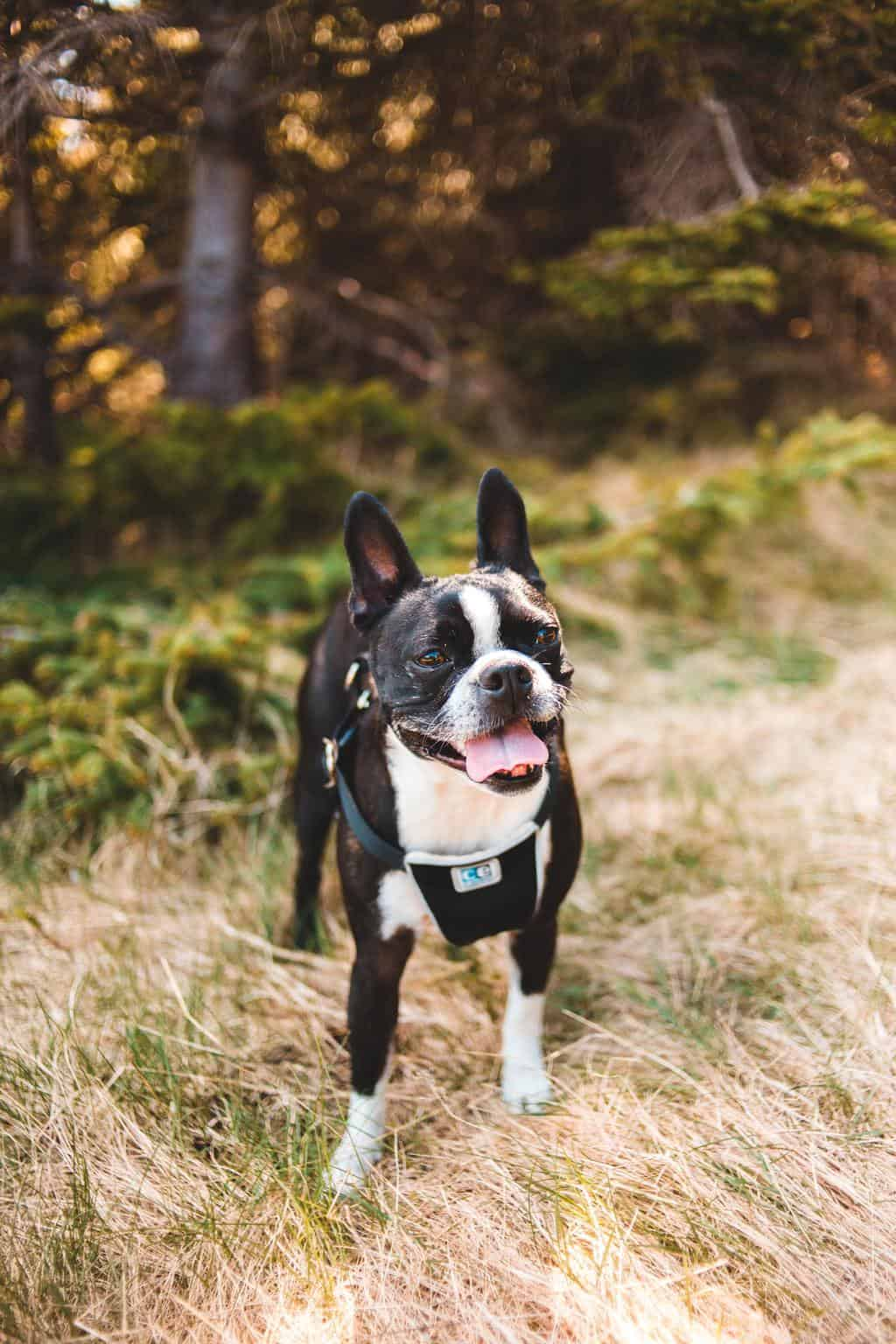 Dog with harness stepping on grass