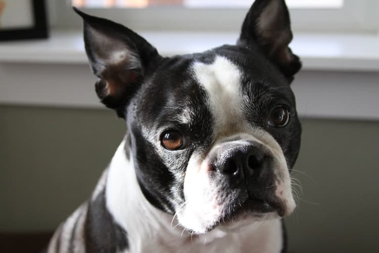 Boston Terrier looking at the camera