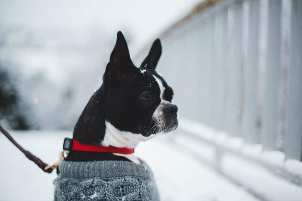 Boston Terrier wearing a sweater while being taken out on a walk