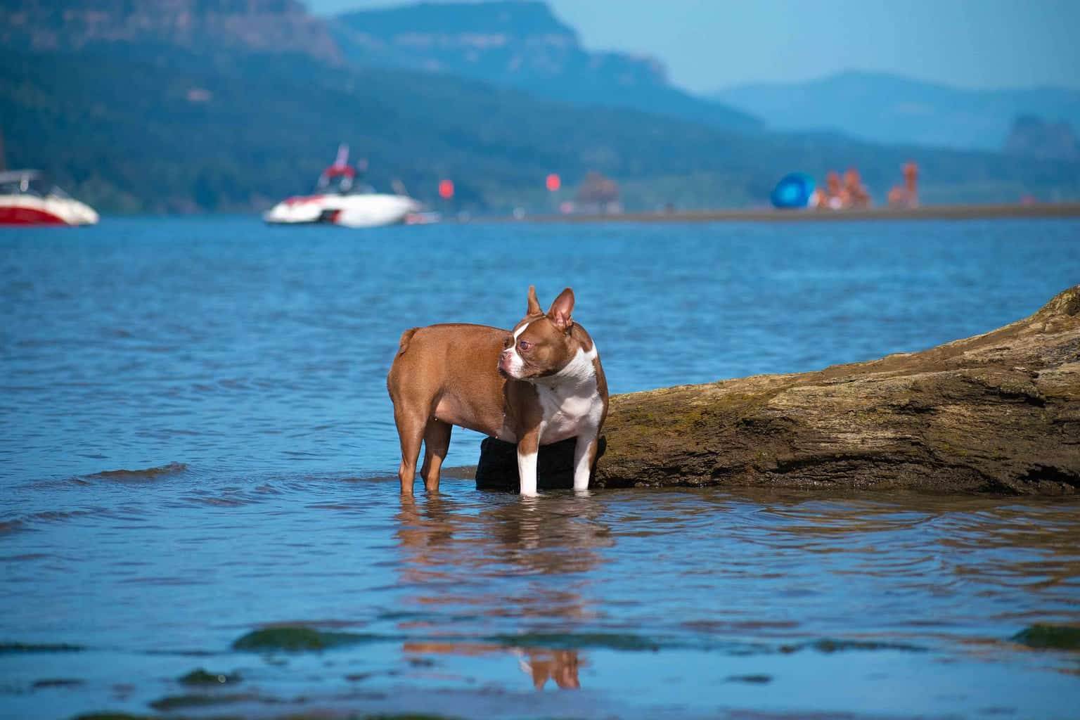 Boston Terrier going for a swim in the ocean
