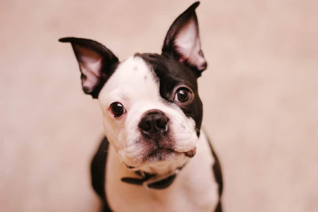 Boston terrier dog looking upwards
