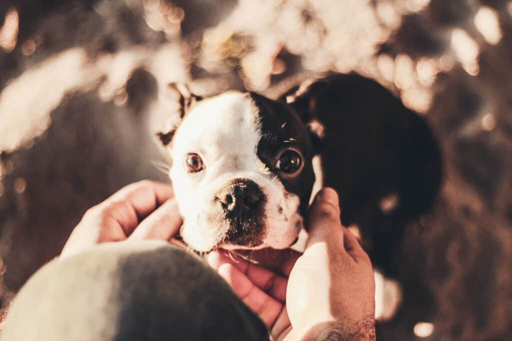 A person touching a Boston Terrier's face