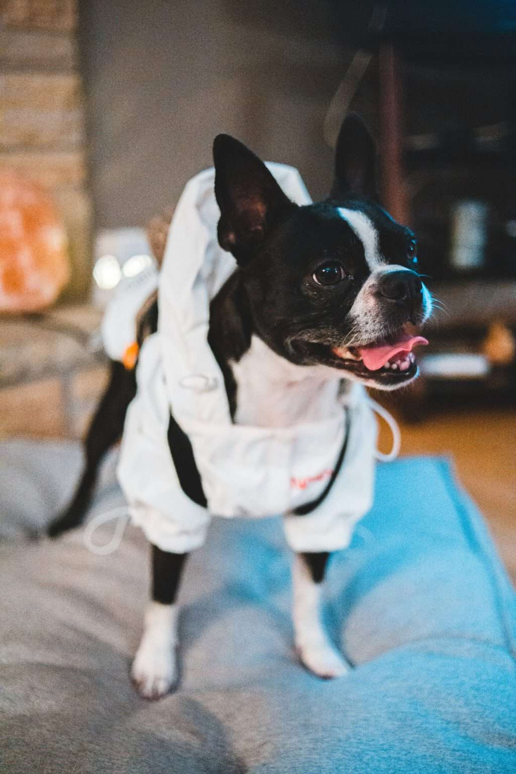 Boston terrier standing on a pillow
