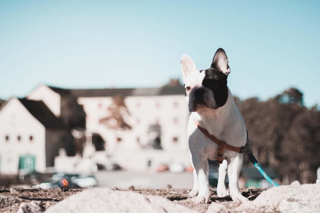 Boston terrier near buildings